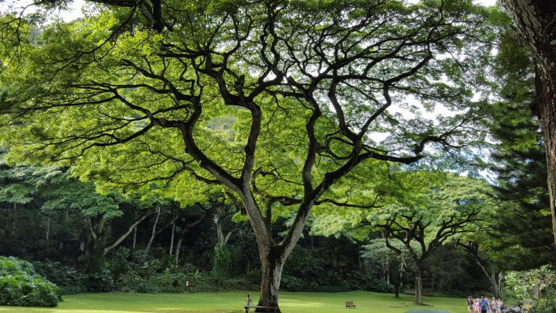 hawii-tree